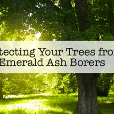 Protecting Your Trees from Emerald Ash Borers